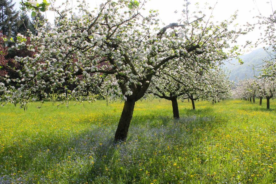 La Roche d'Or. Ecologie. Printemps : verger en fleurs